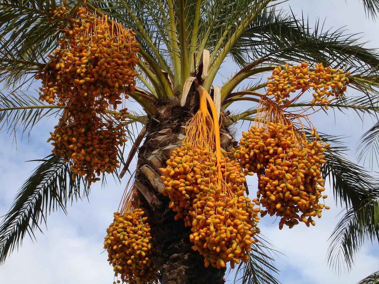 Datteln für Sweet Kalif Energiekugeln